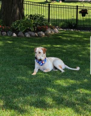 Dog for adoption - Kodak, a German Shepherd Dog & Labrador