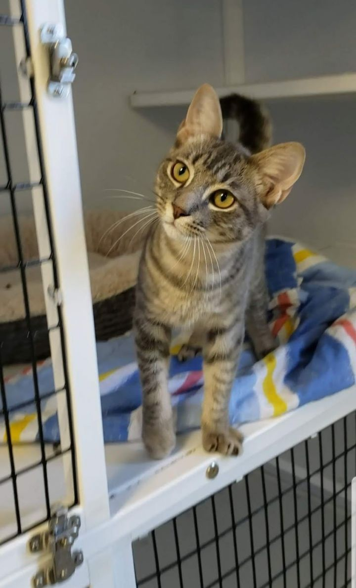 Stevie, an adopted Domestic Short Hair in Eglin AFB, FL