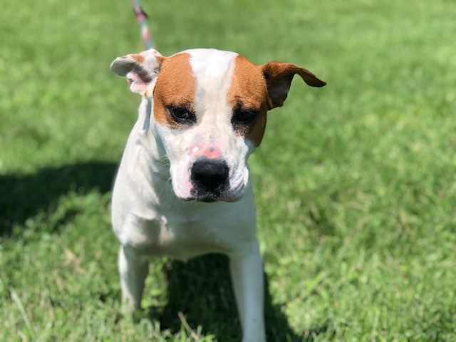 Spike, an adoptable Terrier & Boxer Mix in Cynthiana, KY