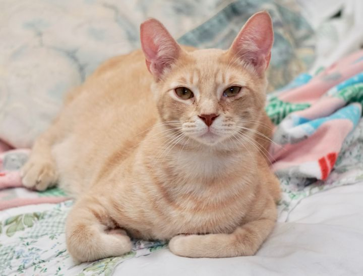 Lark, an adoptable Domestic Short Hair in Naperville, IL
