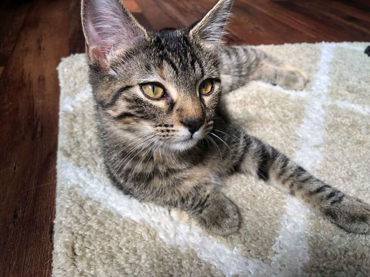 Lacey, an adoptable Domestic Short Hair in Manhattan, KS