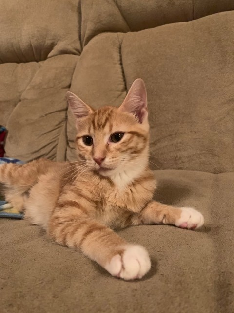 Nala, an adopted Domestic Short Hair in Manhattan, KS