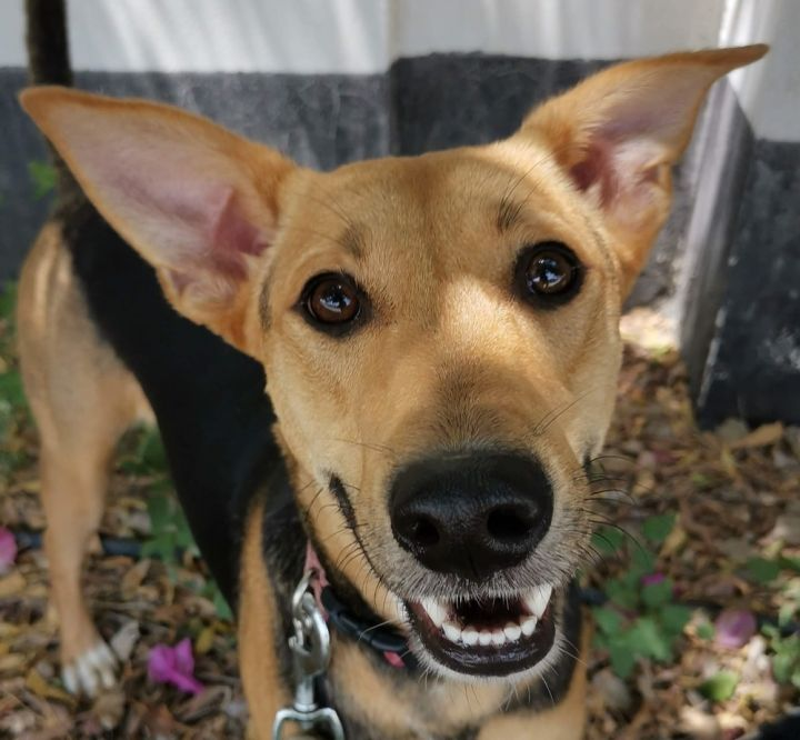 Dog for adoption - Maeve - pending, a Saluki Mix in Langley