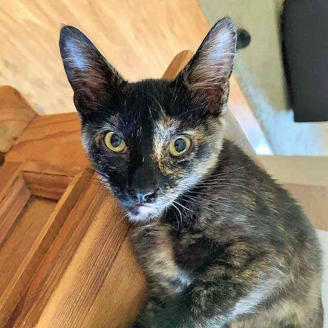 Papaya, an adoptable Domestic Short Hair in Mission Viejo, CA