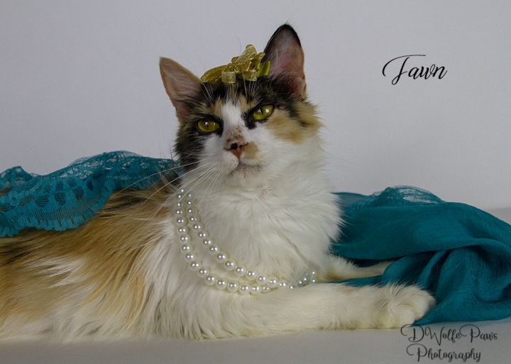 Cat for adoption - Fawn, a Calico in York, NE | Petfinder
