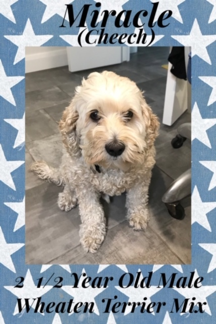 Dog for adoption - MIRACLE 2 1/2 YEAR OLD WHEATEN TERRIER MIX MALE
