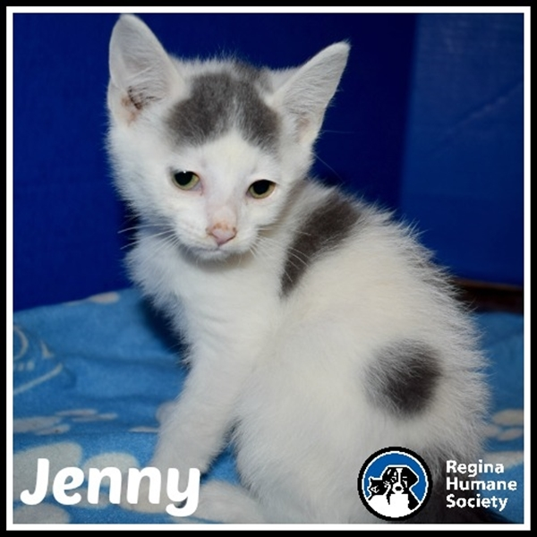 Cat for adoption - Jenny*, a Domestic Medium Hair Mix in