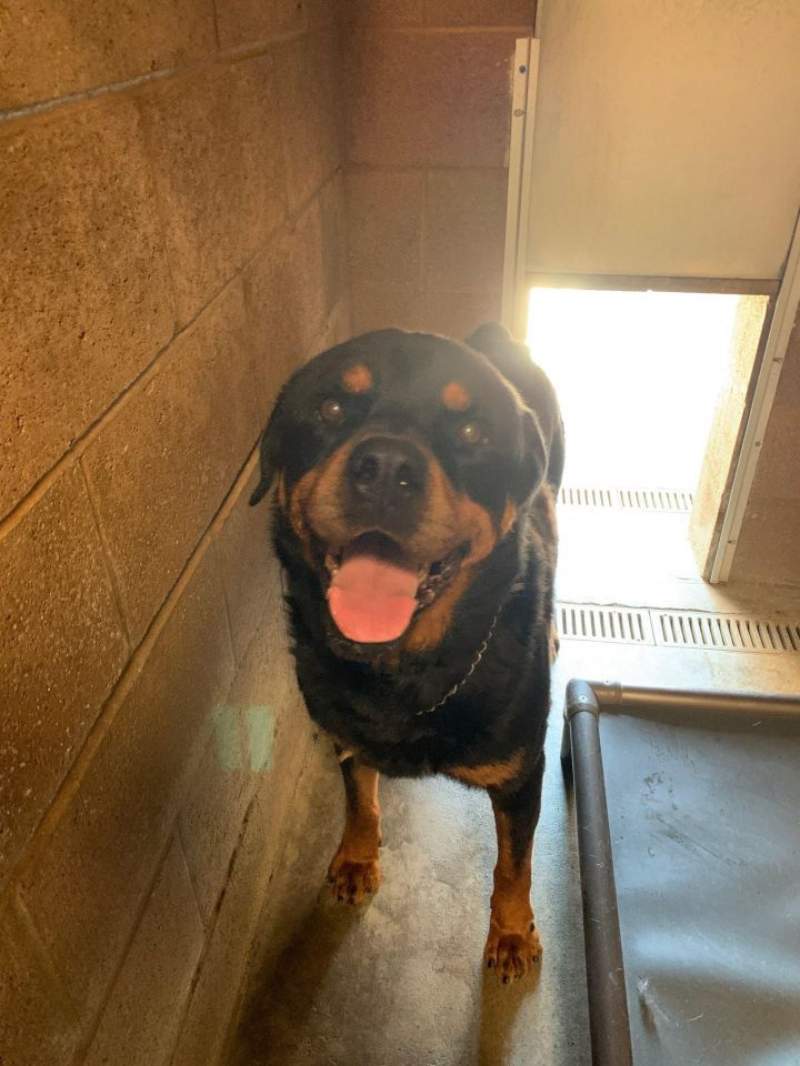 Goliath, an adoptable Rottweiler in Portland, OR