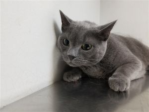 Cat for adoption - Shimmer, a Domestic Short Hair Mix in