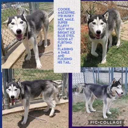 Dog for adoption - 1 Smart Cookie, a Husky Mix in Irving, TX | Petfinder
