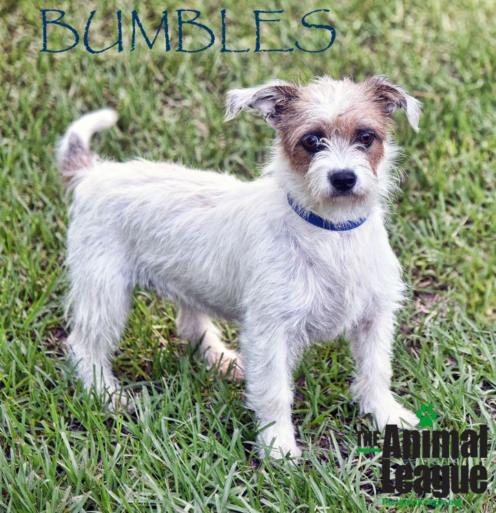 Bumbles, an adopted Wirehaired Terrier Mix in Clermont, FL