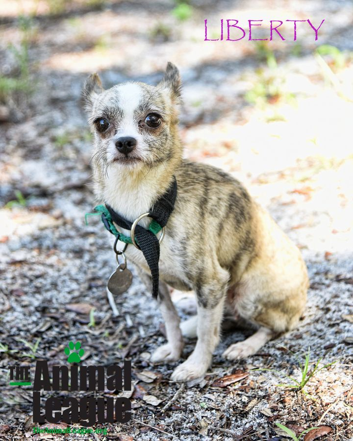 Liberty, an adopted Jack Russell Terrier & Chihuahua Mix in Clermont, FL