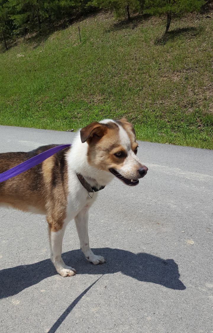 Dog for adoption - August, a Husky & Jack Russell Terrier