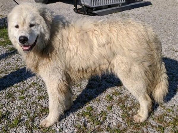 Liam, an adoptable Great Pyrenees Mix in Winchester, KY