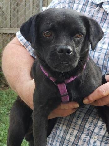 Dog for adoption - Simon, a Pug Mix in Virginia Beach, VA