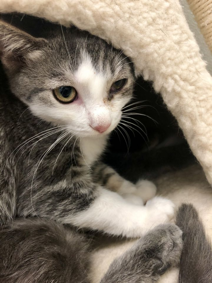 Sirani, an adoptable Domestic Short Hair Mix in Appleton, WI