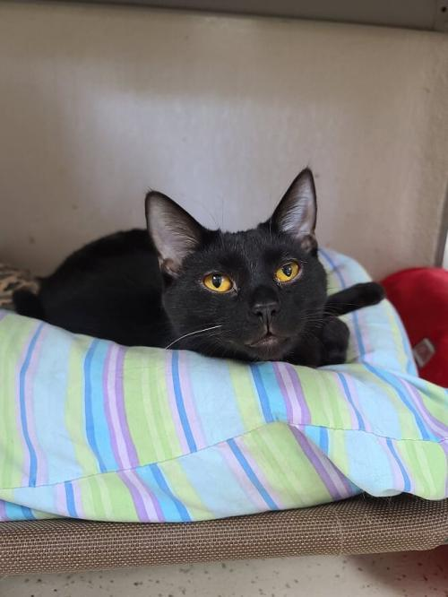 Cedrick, an adoptable American Shorthair & Domestic Short Hair Mix in Monroe, MI