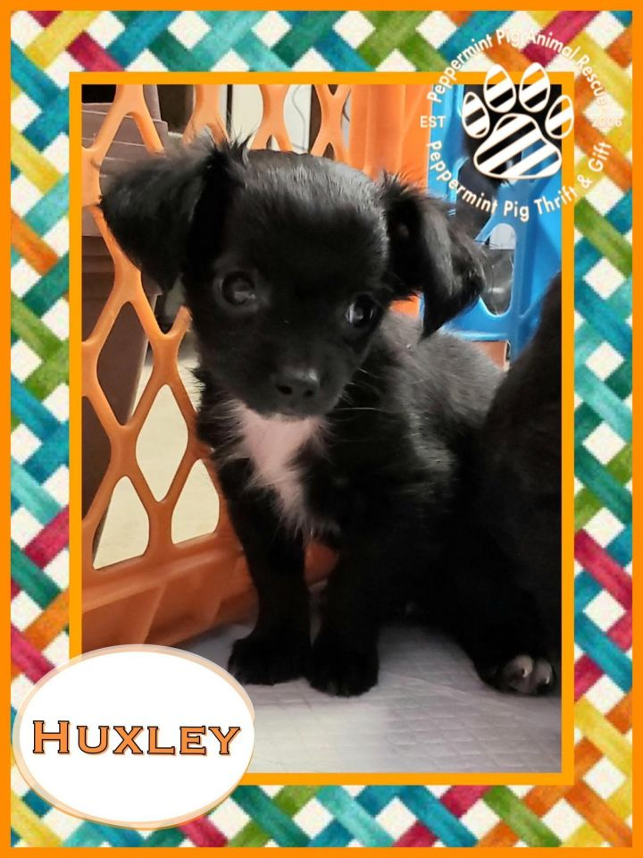 Huxley ADOPTION PENDING, an adopted Chihuahua Mix in Cincinnati, OH