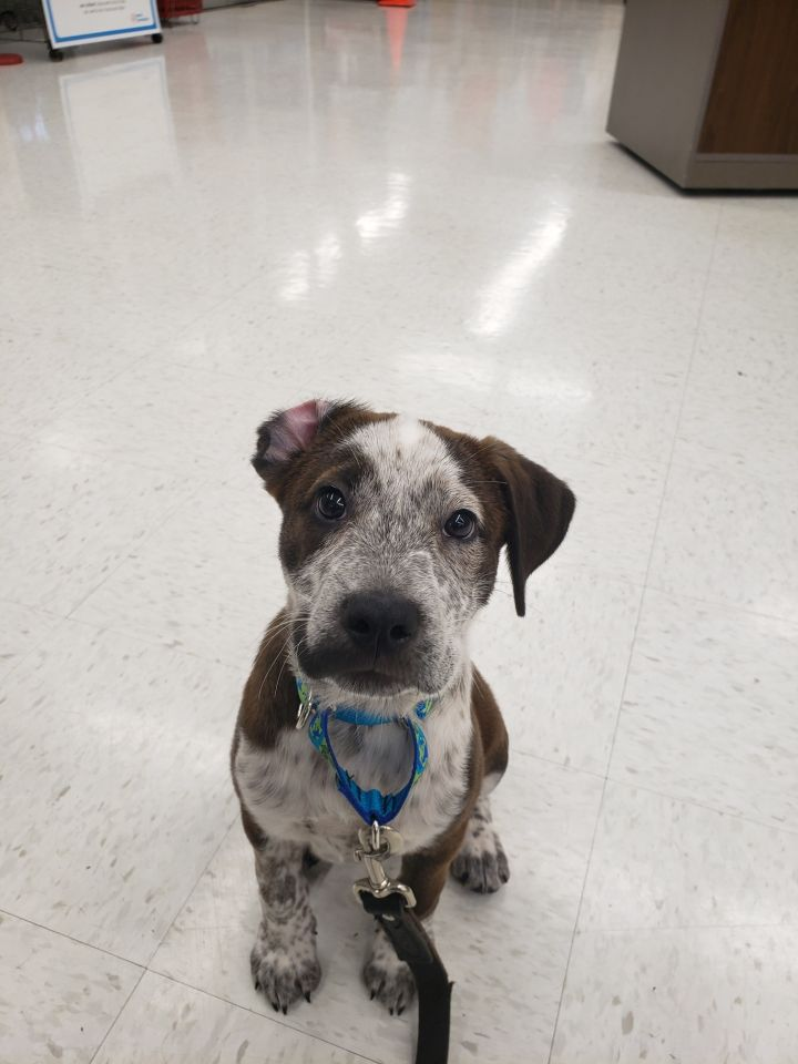 Nugget, an adoptable Pit Bull Terrier & Cattle Dog Mix in Saint Charles, MO