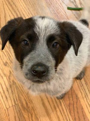 Dog for adoption - Mama Indie Puppies - Louie, a Corgi