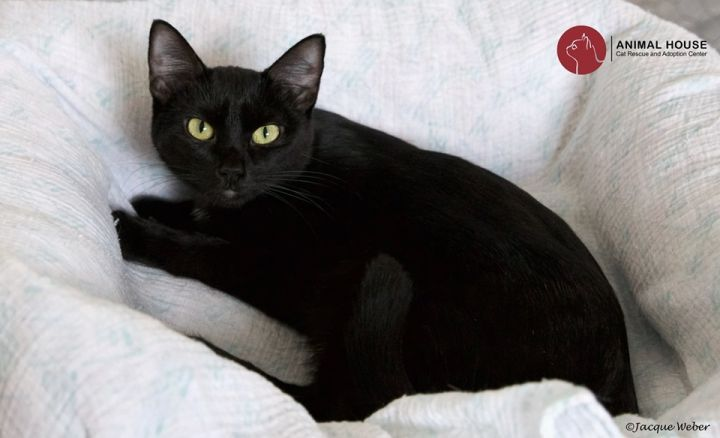 Jamie, an adoptable Domestic Short Hair in St. Louis, MO