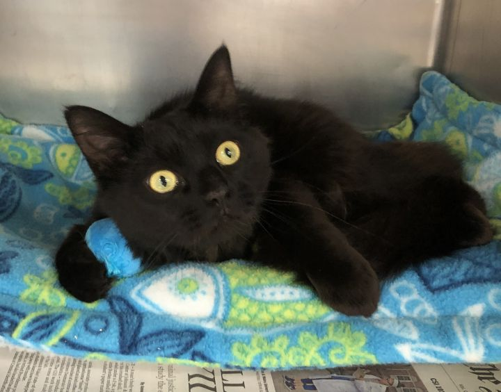 Looney Louie, an adoptable Domestic Medium Hair Mix in Clayville, RI