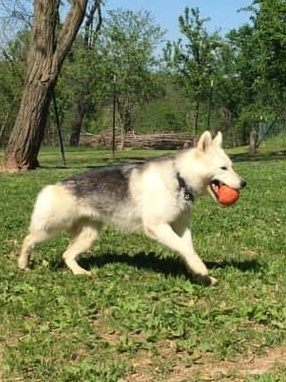 Wanda, an adoptable Husky Mix in Jefferson City, MO