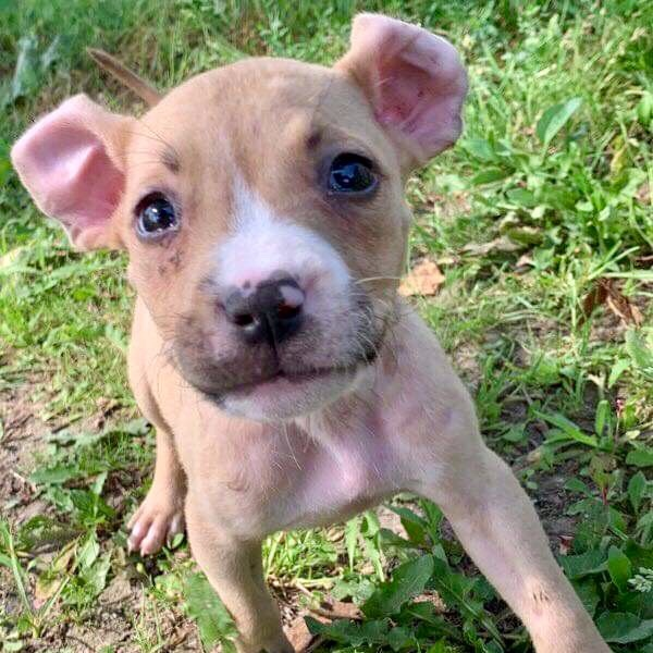 Dog for adoption - Cassie (10 weeks old), an American