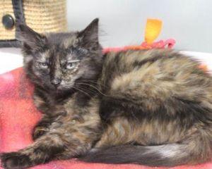 Cat for adoption - SENORITA PEPITA, a Domestic Long Hair in