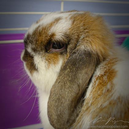 Rabbit for adoption - Stray Rabbit