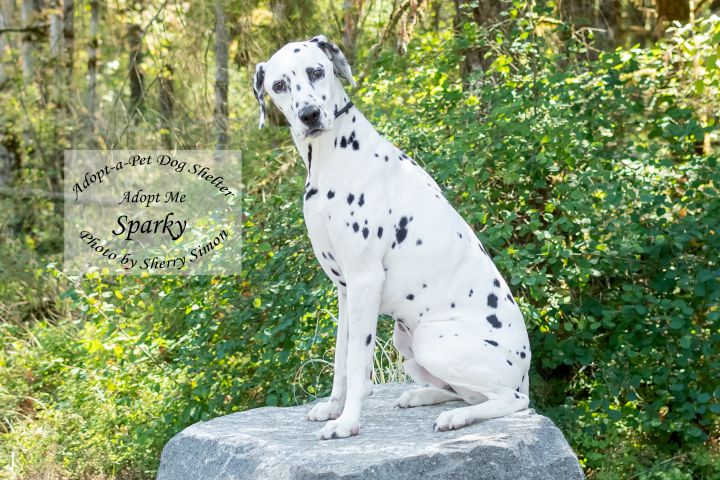 SPARKY, an adopted Dalmatian in Shelton, WA