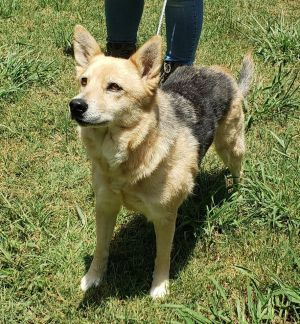 Dog for adoption - Kola, a Shepherd Mix in Madison, WI