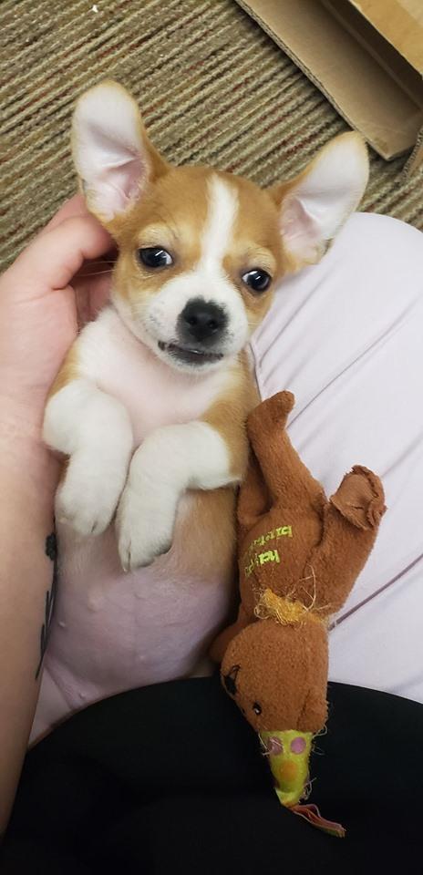 Dog for adoption - Seraphina Ballerina, a Pug & Chihuahua