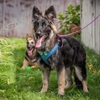 King Riordan, an adoptable German Shepherd Dog in Kennewick, WA