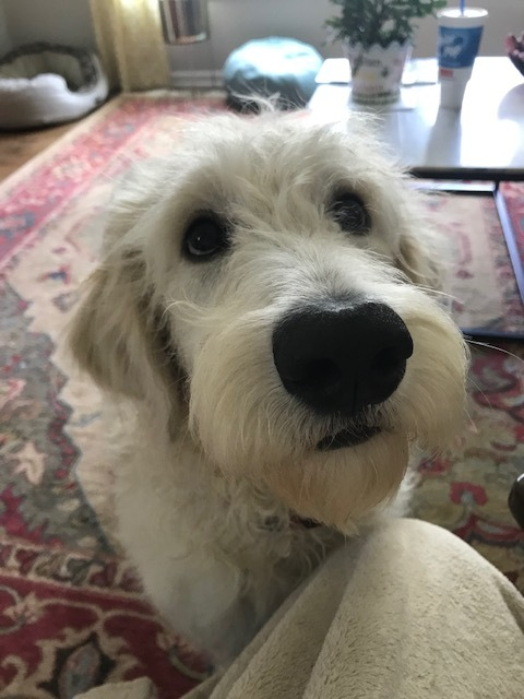 Charlie-NC, an adopted Standard Poodle & Golden Retriever Mix in Apex, NC