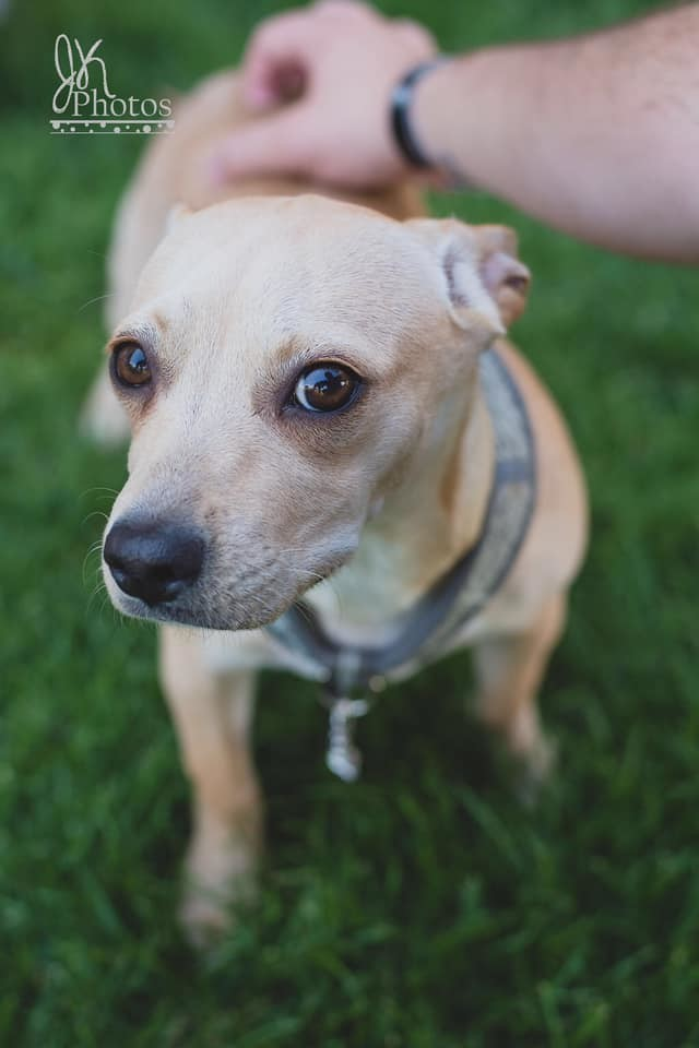 Sonny, an adoptable Chihuahua Mix in Kennewick, WA