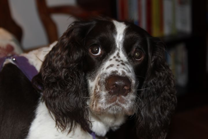 Dog for adoption - Daisy in Oregon, an English Springer
