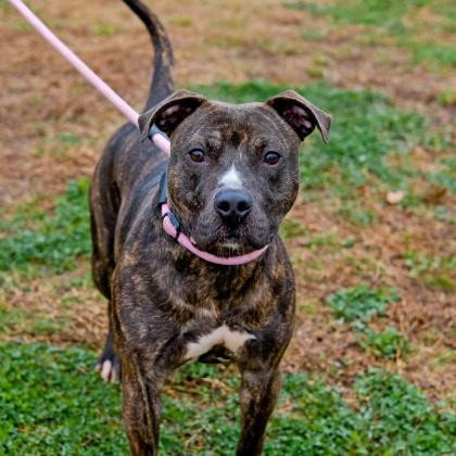 Ridges, an adoptable Pit Bull Terrier Mix in Eagle, ID