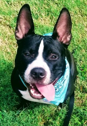 Dog for adoption - Pappy, a Pit Bull Terrier & Boston