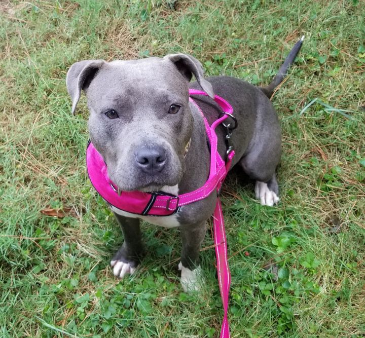 Em  (Auntie Em), an adopted Pit Bull Terrier in Durham, NC