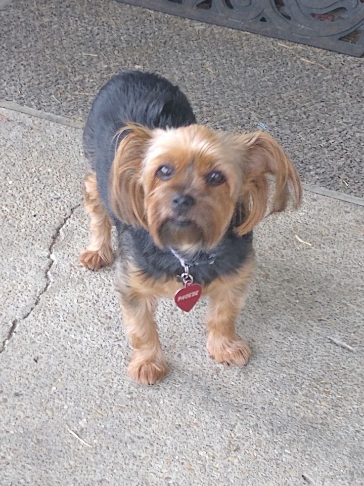Phoebe, an adoptable Yorkshire Terrier in Mary Esther, FL