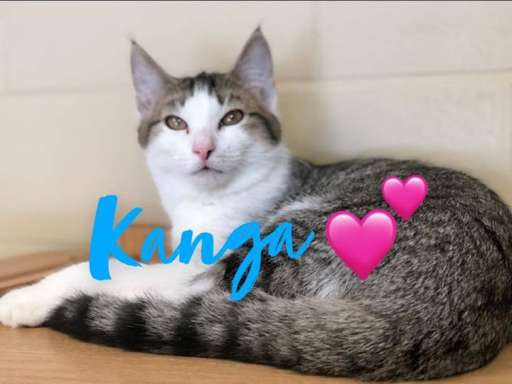 Kanga - kitten!, an adoptable Domestic Short Hair in Myerstown, PA