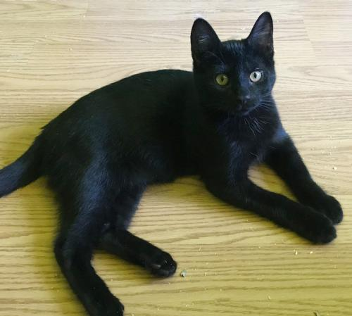 Jaguar, an adopted Domestic Short Hair Mix in Springfield, OR