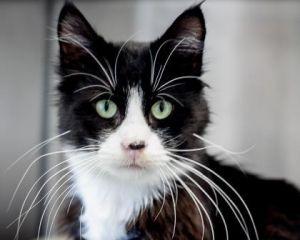 Cat for adoption - BALDUR, a Domestic Short Hair in West