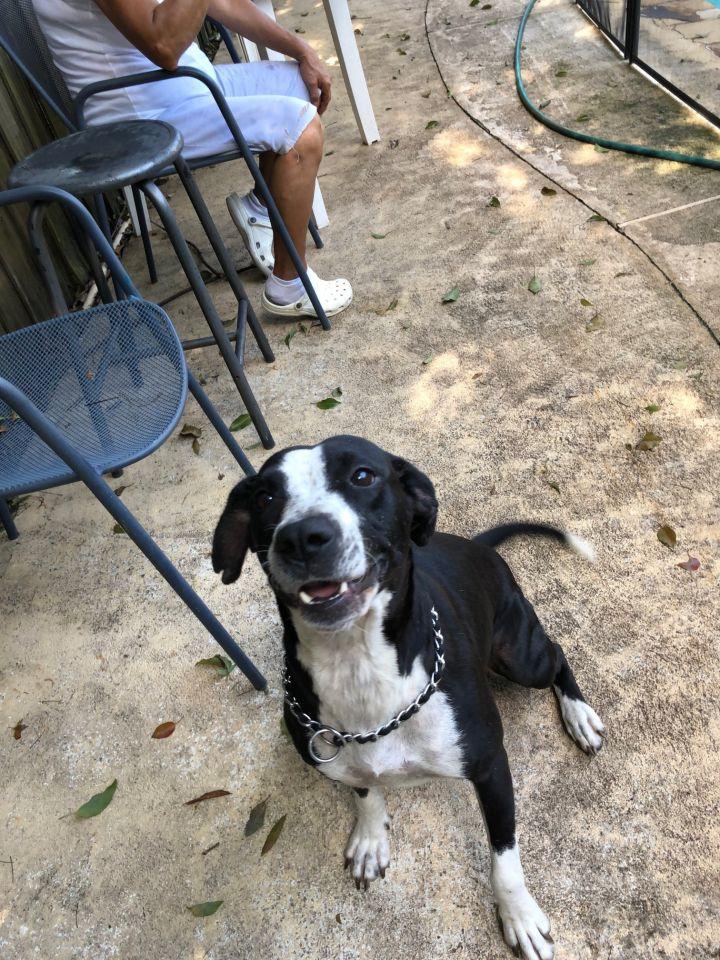 Dog for adoption - Jenny (Mercedes), a Pointer & Labrador