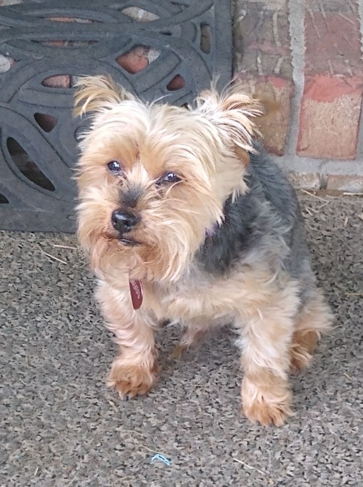 Ziggy, an adoptable Yorkshire Terrier in Mary Esther, FL