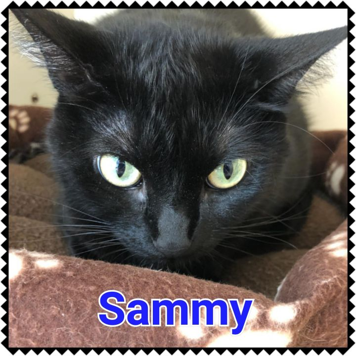 Sammy, an adopted Domestic Short Hair in North Saint Paul, MN