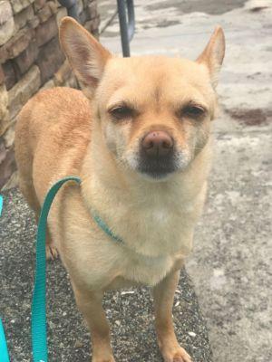 Dog for adoption - Bella, a Chihuahua in Tacoma, WA   Petfinder