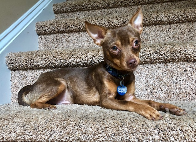 Dog for adoption - Timon, a Chihuahua & Miniature Pinscher