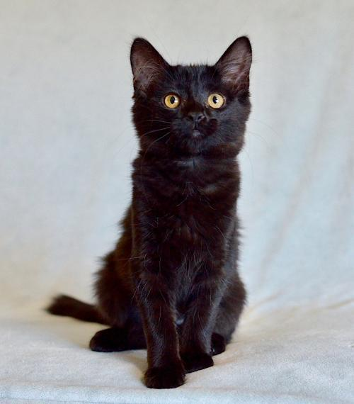 Astoria, an adoptable Domestic Medium Hair Mix in Springfield, OR